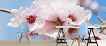cherry-blossom-wallpaper-mural