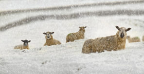 Buckden snow sheep Wallpaper mural