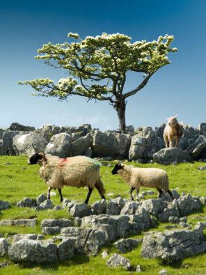 Lost sheep Malham Moor Wallpaper mural