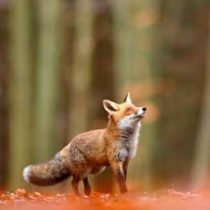 Cute Red Fox, Vulpes vulpes, fall forest. Beautiful animal in th